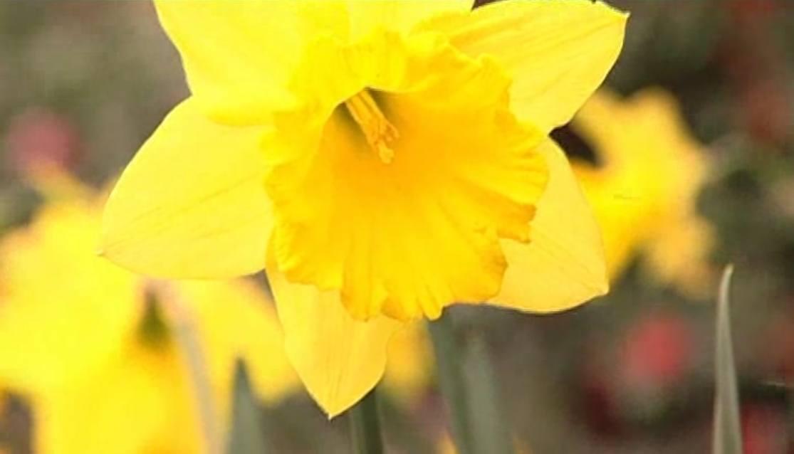 Deadheading Daffodils