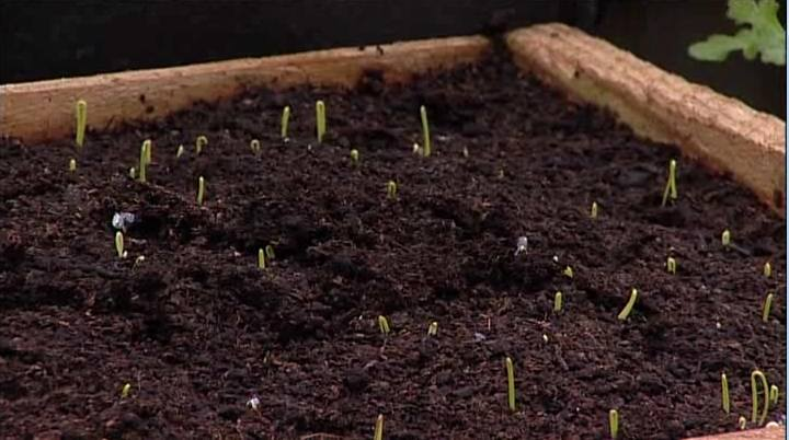 Bulb Onions From Seed
