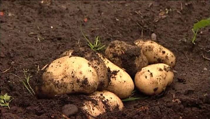 Harvesting Early Potatoes