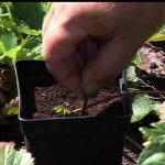 Propagating Strawberry Runner